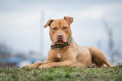 Amerykański pitbulterier (pitbull terier) – opis, cechy, charakter, wychowanie