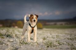 Parson russell terrier – opis, wymagania, tresura, opinie
