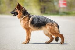 Pracujący pies, czyli użytkowy owczarek niemiecki. Poznaj użytkowość wilczura