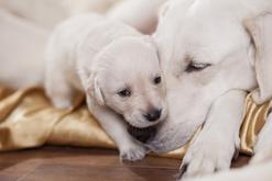 Hodowle labradorów w Polsce – zobacz, gdzie warto kupić szczeniaka