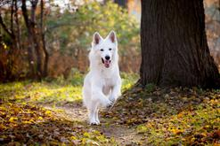 Jaka jest cena owczarka szwajcarskiego? Ile kosztuje rasowy pies?