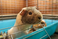 Najlepsza klatka dla świnki morskiej - rodzaje, ceny, opinie