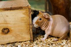 Jaki domek dla świnki morskiej warto wybrać? Na to zwróć uwagę