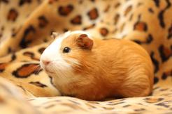 Rasy świnek morskich – komplet 10 ras wraz z omówieniem
