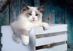 Jak wygląda kot szmaciana lalka? Poznaj kota innego niż wszystkie
