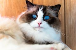 Charakter ragdoll krok po kroku. Poznaj prawdziwe usposobienie wyjątkowego kota
