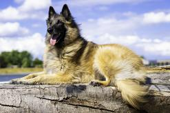 Jaka jest cena owczarka belgijskiego? Ile kosztuje szczeniak?