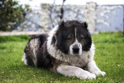 Jaka jest cena owczarka kaukaskiego? Zobacz, ile kosztuje pies z hodowli