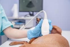 Objawy ciąży psa krok po kroku - jak rozpoznać ciążę u suki?