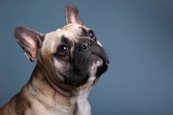 Ile waży buldog francuski? Prawidłowa waga od szczeniaka do dorosłego psa