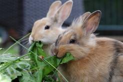 Co jedzą króliki? Przedstawiamy zasady prawidłowego żywienia