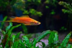 Ryby mieczyki – charakterystyka, wymagania, zdjęcia, porady
