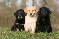 Hodowle hovawart – zobacz, gdzie kupić rasowego szczeniaka