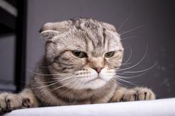 Kot z oklapniętymi uszami. Poznajcie kota o wyjątkowym wyglądzie