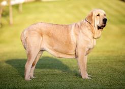 Mastif hiszpański - opis, usposobienie, wygląd, pielęgnacja
