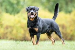 Rottweiler - opis, charakter, wychowanie, choroby, porady