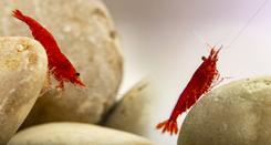 Krewetki Red Cherry – charakterystyka, wymagania, opinie