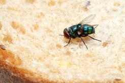 Ile żyje mucha? Sprawdź średnią długość życia owada