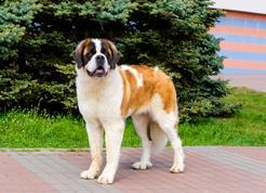 Pies moskiewski stróżujący - charakterystyka, wymagania, porady