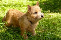 Norwich terrier - opis, usposobienie, wychowanie, choroby