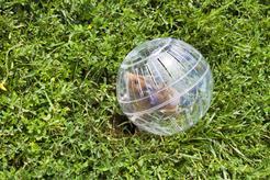 Kula dla chomika - czy to dobry pomysł na zabawkę dla gryzonia?