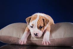 Ceny amstaffów z rodowodem i bez – ile kosztuje szczeniak?