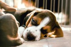 Beagle miniaturka - opis, charakter, wychowanie, opinie