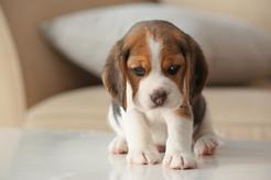 Najlepsze hodowle beagle - gdzie warto kupić szczeniaka