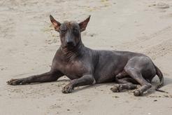 Khala, czyli pies bez sierści – opis, charakter, pielęgnacja, choroby