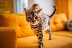 Hodowla kota bengalskiego – sprawdź, gdzie kupić kocięta z rodowodem