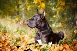 Dog niemiecki błękitny – opis, wymagania, pielęgnacja, opinie