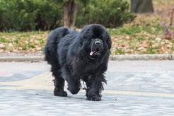 Pies wodołaz (Nowofundland) - opis, charakter, opinie