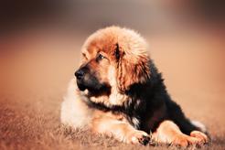 Szczeniak mastifa tybetańskiego - wymagania, żywienie, pielęgnacja