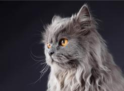 Szary kot perski - opis, charakter, cechy, opinie właścicieli