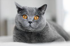 Charakter kota brytyjskiego krok po kroku – usposobienie, opinie