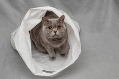 Jaka jest cena kota belgijskiego z hodowli? Sprawdzamy