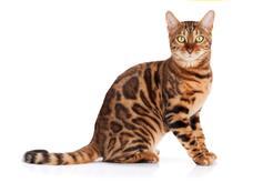 Prawdziwy charakter kota bengalskiego - co warto wiedzieć?