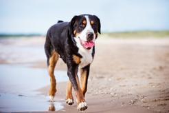 Szwajcarski pies pasterski - opis, charakter, wymagania, wychowanie