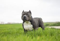 American bully - opis, charakter, żywienie, choroby, opinie