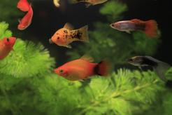 Ile żyją gupiki? Zobacz, jaka jest długość życia popularnych ryb akwariowych