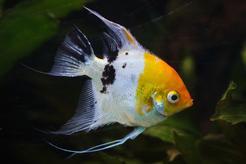 Ryba skalar – opis, wymagania, zdjęcia, charakter, opinie