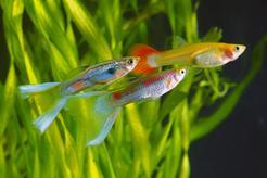 Jak kształtuje się cena gupików? Zobacz, ile kosztuje popularna rybka akwariowa