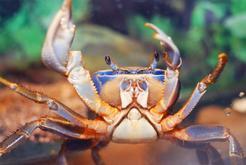Krab tęczowy – opis, wymagania, żywienie, porady praktyczne