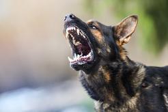 10 ras psów agresywnych - zobacz, które psy są najgroźniejsze