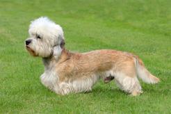 Dandie dinmont terrier - opis, pochodzenie, pielęgnacja, choroby