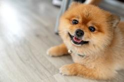 Szpic miniaturowy (pies pomeranian) - opis, pochodzenie, wymagania, opinie