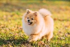 Pies Boo - poznaj psa, który stał się gwiazdą social mediów
