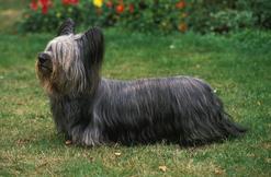 Skye terrier – opis, pochodzenie, tresura, pielęgnacja, porady