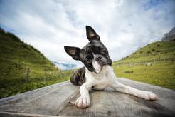 Boston terrier miniaturka – opis, waga, charakter, pielęgnacja
