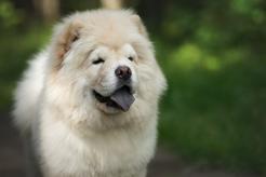 Chow chow panda - czy istnieje pies podobny do pandy? Wyjaśniamy